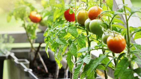 tomatoes in a container garden