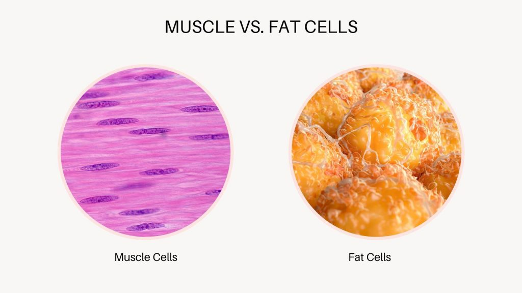 visual showing tightly woven fibers of muscle tissue versus fat cell droplets with space in between